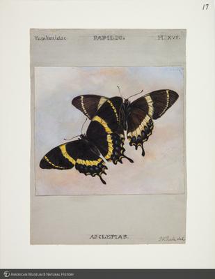 http://lbry-web-002.amnh.org/san/to_upload/titianbutterflies/b1083009_17.jpg