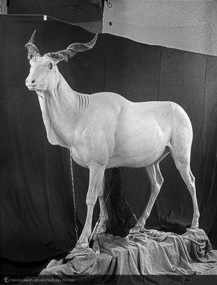http://images.library.amnh.org/d/t/8x10/0001/00313701_l.jpg