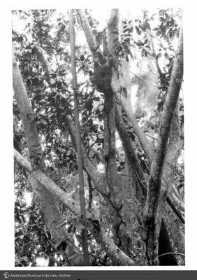 http://lbry-web-002.amnh.org/san/to_upload/Beck-PapuaNewGuinea/NG-5x7-prints/115684.jpg