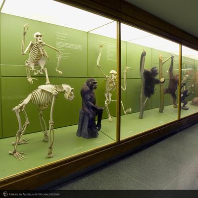 http://lbry-web-002.amnh.org/san/to_upload/photostudio/batch3/DF_Primates.jpg