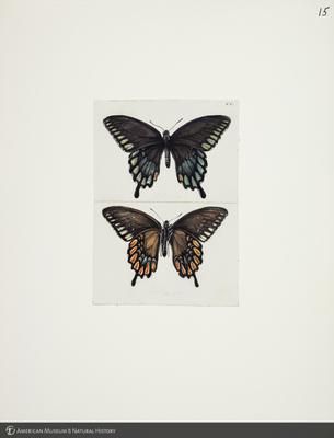 http://lbry-web-002.amnh.org/san/to_upload/titianbutterflies/b1083009_14.jpg