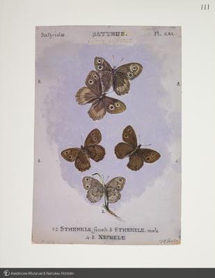 http://lbry-web-002.amnh.org/san/to_upload/titianbutterflies/b1083009_121.jpg