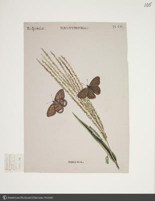 http://lbry-web-002.amnh.org/san/to_upload/titianbutterflies/b1083009_116.jpg
