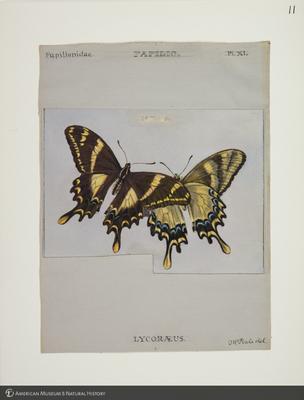 http://lbry-web-002.amnh.org/san/to_upload/titianbutterflies/b1083009_10.jpg