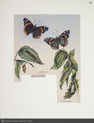 http://lbry-web-002.amnh.org/san/to_upload/titianbutterflies/b1083009_77.jpg