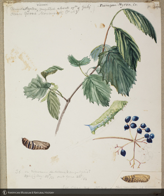 http://lbry-web-002.amnh.org/san/to_upload/titianbutterflies/b1179161_109.jpg