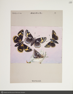 http://lbry-web-002.amnh.org/san/to_upload/titianbutterflies/b1083009_133.jpg
