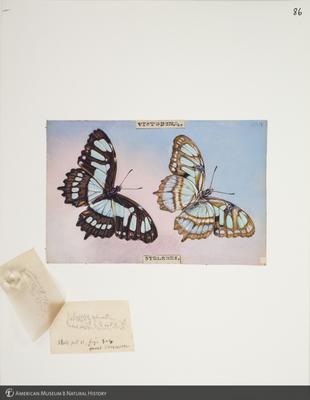 http://lbry-web-002.amnh.org/san/to_upload/titianbutterflies/b1083009_96.jpg