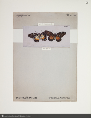 http://lbry-web-002.amnh.org/san/to_upload/titianbutterflies/b1083009_73.jpg