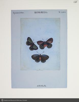 http://lbry-web-002.amnh.org/san/to_upload/titianbutterflies/b1083009_126.jpg