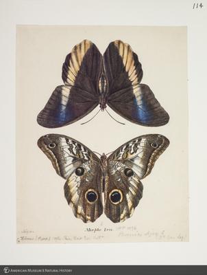 http://lbry-web-002.amnh.org/san/to_upload/titianbutterflies/b1083009_125.jpg
