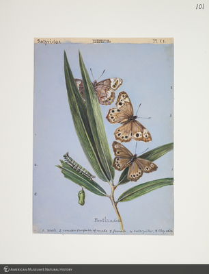 http://lbry-web-002.amnh.org/san/to_upload/titianbutterflies/b1083009_112.jpg