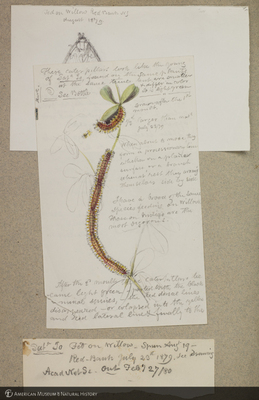 http://lbry-web-002.amnh.org/san/to_upload/titianbutterflies/b1179161_24.jpg