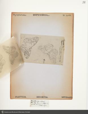 http://lbry-web-002.amnh.org/san/to_upload/titianbutterflies/b1083009_62.jpg