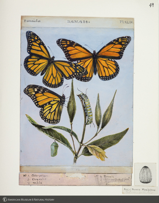 http://lbry-web-002.amnh.org/san/to_upload/titianbutterflies/b1083009_51.jpg