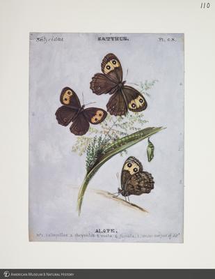 http://lbry-web-002.amnh.org/san/to_upload/titianbutterflies/b1083009_120.jpg