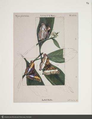 http://lbry-web-002.amnh.org/san/to_upload/titianbutterflies/b1083009_107.jpg