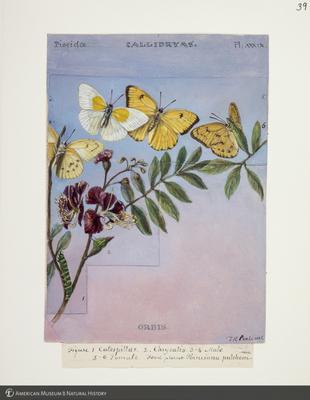 http://lbry-web-002.amnh.org/san/to_upload/titianbutterflies/b1083009_42.jpg