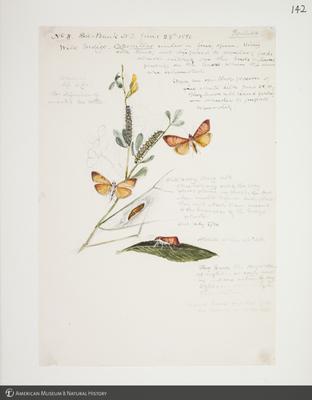 http://lbry-web-002.amnh.org/san/to_upload/titianbutterflies/b1083009_146.jpg