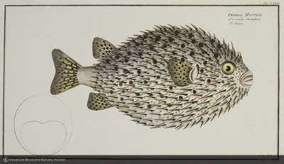 http://lbry-web-002.amnh.org/san/naturalhistories/b11821243_7.jpg