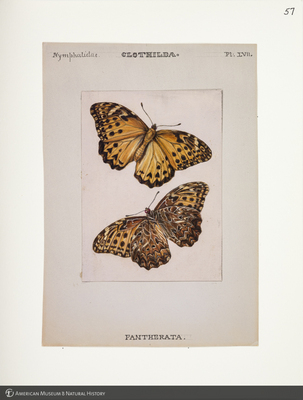 http://lbry-web-002.amnh.org/san/to_upload/titianbutterflies/b1083009_59.jpg
