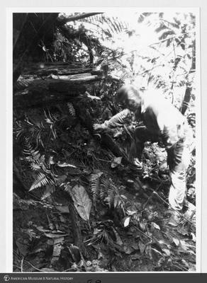 http://lbry-web-002.amnh.org/san/to_upload/Beck-PapuaNewGuinea/NG-5x7-prints/115589.jpg