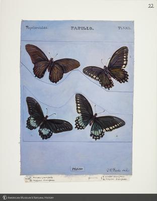 http://lbry-web-002.amnh.org/san/to_upload/titianbutterflies/b1083009_22.jpg