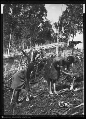 http://lbry-web-002.amnh.org/san/to_upload/Beck-PapuaNewGuinea/NG-5x7-negs/115759.jpg