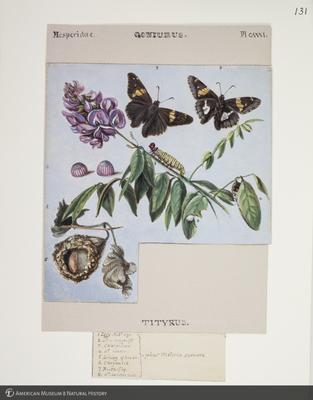 http://lbry-web-002.amnh.org/san/to_upload/titianbutterflies/b1083009_131.jpg
