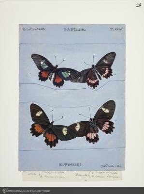 http://lbry-web-002.amnh.org/san/to_upload/titianbutterflies/b1083009_24.jpg