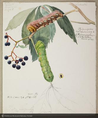 http://lbry-web-002.amnh.org/san/to_upload/titianbutterflies/b1179161_110.jpg