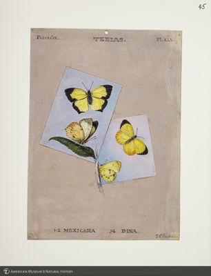 http://lbry-web-002.amnh.org/san/to_upload/titianbutterflies/b1083009_48.jpg
