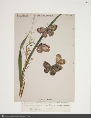 http://lbry-web-002.amnh.org/san/to_upload/titianbutterflies/b1083009_114.jpg