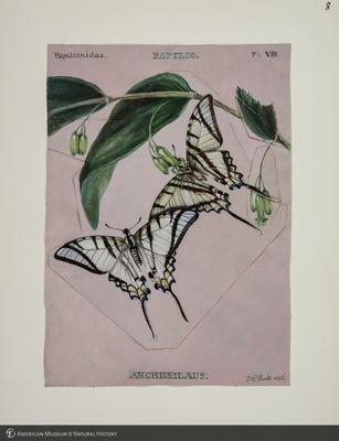 http://lbry-web-002.amnh.org/san/to_upload/titianbutterflies/b1083009_7.jpg