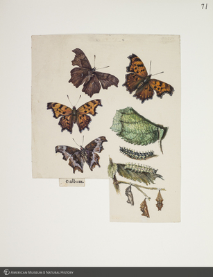 http://lbry-web-002.amnh.org/san/to_upload/titianbutterflies/b1083009_74.jpg