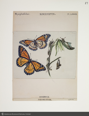 http://lbry-web-002.amnh.org/san/to_upload/titianbutterflies/b1083009_97.jpg