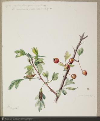 http://lbry-web-002.amnh.org/san/to_upload/titianbutterflies/b1179161_105.jpg