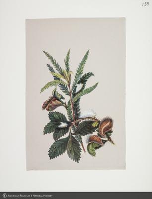 http://lbry-web-002.amnh.org/san/to_upload/titianbutterflies/b1083009_142.jpg