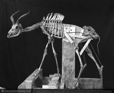 http://images.library.amnh.org/d/t/8x10/0002/00313452_l.jpg