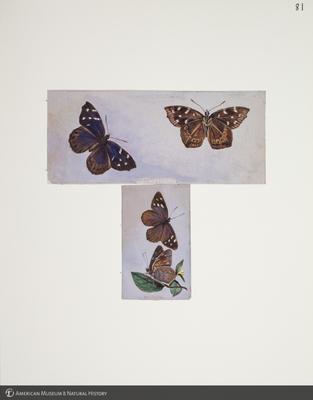 http://lbry-web-002.amnh.org/san/to_upload/titianbutterflies/b1083009_89.jpg