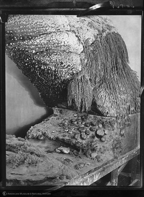 http://images.library.amnh.org/d/t/8x10/0001/00036431_l.jpg