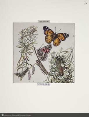 http://lbry-web-002.amnh.org/san/to_upload/titianbutterflies/b1083009_81.jpg