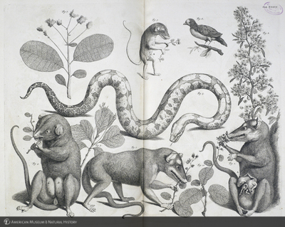 http://lbry-web-002.amnh.org/san/naturalhistories/b10276415_3.jpg