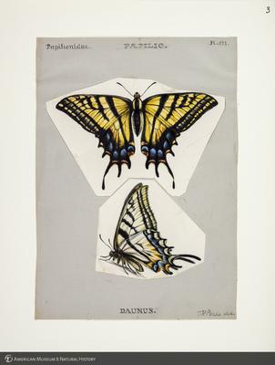 http://lbry-web-002.amnh.org/san/to_upload/titianbutterflies/b1083009_2.jpg