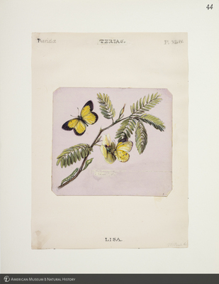 http://lbry-web-002.amnh.org/san/to_upload/titianbutterflies/b1083009_47.jpg