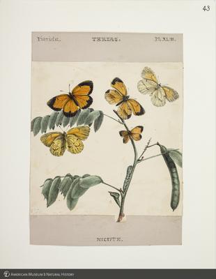 http://lbry-web-002.amnh.org/san/to_upload/titianbutterflies/b1083009_46.jpg