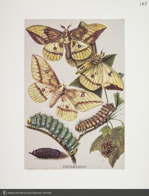 http://lbry-web-002.amnh.org/san/to_upload/titianbutterflies/b1083009_147.jpg