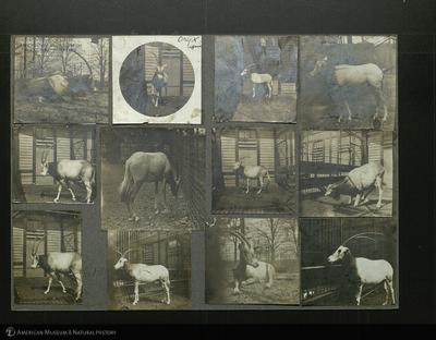 http://lbry-web-002.amnh.org/san/mo_exhibition/ppc_533_b03_f067_010.jpg