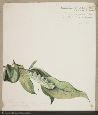 http://lbry-web-002.amnh.org/san/to_upload/titianbutterflies/b1179161_35.jpg