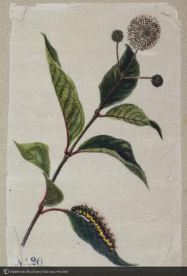 http://lbry-web-002.amnh.org/san/to_upload/titianbutterflies/b1179161_93.jpg